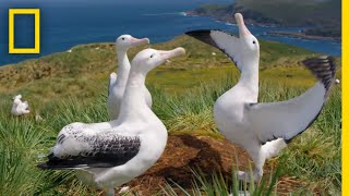 Download Albatrosses' Life-Long Bond Begins With Elaborate Courtship – Ep. 3 | Wildlife: Resurrection Island Video