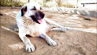 Download Turkish Dog Kangal Advertisement !!! Video