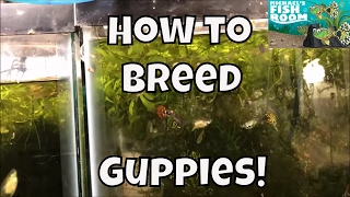 Download How to Breed Guppies Guppy Fish for profit Breeding Guppies for Profit Guppy Tank Setup Video