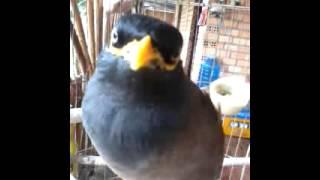 Download chim sao noi chuyen Video