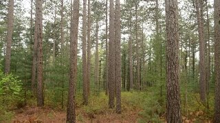 Download Sounds of Pine Bark Beetle Video