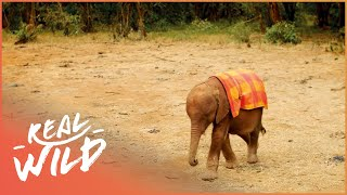 Download Orphaned Baby Elephant Grows Up With The Best Human Friends | Real Wild Video