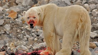 Download 11 Reasons Why You NEVER Want to Encounter a Polar Bear! Video