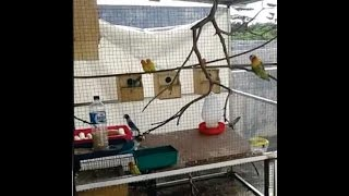 Download Ternak Lovebird Koloni Pemula Video