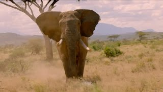 Download Elephant charges towards cameraman - Nature's Epic Journeys: Episode 1 Preview - BBC One Video