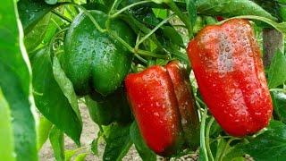Download Kako da Gajite Papriku - Zemljište, Navodnjavanje, Bolesti   Agromedia Savet Video