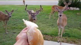Download Hand Feeding Deer in Front Yard. Video