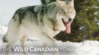 Download Wolves Hunt Caribou In Quebec's Northern Forest | Wild Canadian Year Video