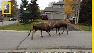 Download Watch Moose Fight in a Quiet Alaska Suburb | National Geographic Video