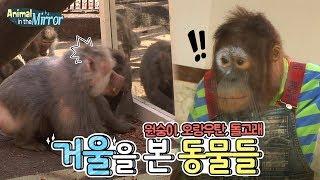 Download 거울보고 묻은 거 닦는 오랑우탄 / 거울 앞 원숭이 / 돌고래까지 | SBS 동물농장x애니멀봐 Video