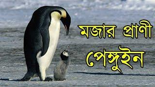 Download জানলে অবাক হবেন পেঙ্গুইন কিভাবে বরফের উপর অদ্ভুত উপায়ে ডিম গরম রাখে   Secret life of penguins Video