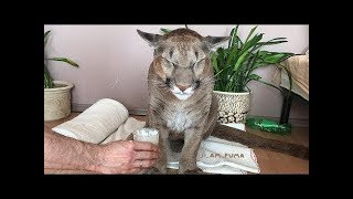 Download Russian Couple Adopted A Wild Animal, Now He's The First Domesticated Puma In The World.. Video