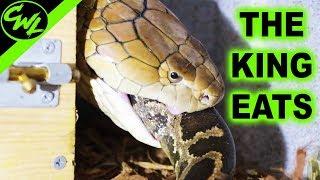 Download KING COBRA EATS 6FT PYTHON! Video