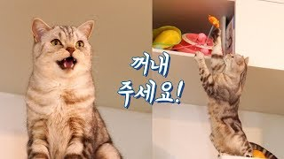 Download 집사와 말로 대화가 가능해진 고양이! 천재냥?! Video