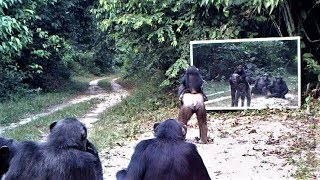 Download Mother chimpanzee and her child go to mirror training class in which other chimps participate/Gabon Video