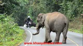 Download angry elephant Video