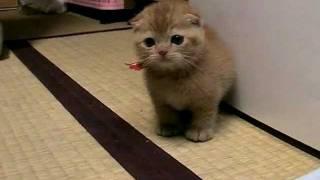 Download たわしねこ ごろん[cat walk] Video