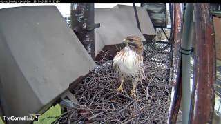 Download Red-tailed Hawk Visitor at the Fernow Nest – Mar. 26, 2017 Video