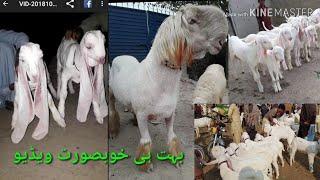 Download Mohammad Pur Mandi بہت خوبصورت بکرے یہ ویڈیو نہیں دیکھا تو کیا دیکھا ok2019 21-1 Bakra Mandi Video