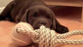 Download Gorgeous chocolate lab puppy - Samba Video