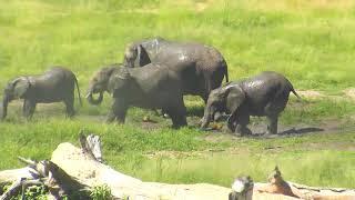 Download Djuma: Elephant herd enjoying a drink and a mud splash - 14:31 - 02/20/19 Video