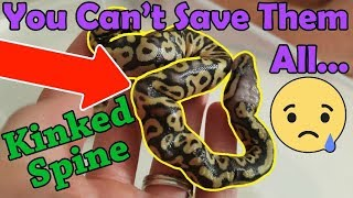 Download When and How to Euthanize a Snake Video