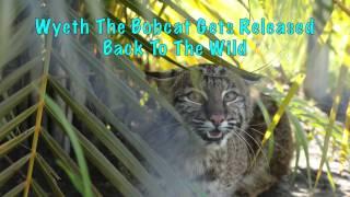 Download Wyeth Bobcat Runs Free Video