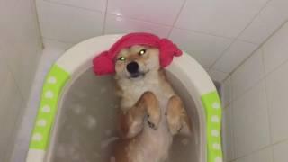 Download Spa day . Shiba inu Chiko Video