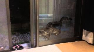 Download 脱走しようとして 網戸にはさまった猫 バカだけどかわいすぎる Video