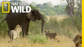 Download Fending Off The Enemy | Elephant: King of the Kalahari Video