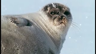 Download Pregnant Polar Bear hunts seals | Animals: The Inside Story | BBC Video