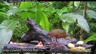 Download Panama Fruit Feeder: All Species – March 18, 2019 Video