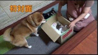 Download [子猫] [保護猫] 子猫と柴犬の出会い [柴犬][可愛い][癒し] Video