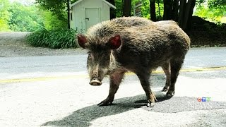 Download Wild boars on the loose become a growing concern Video