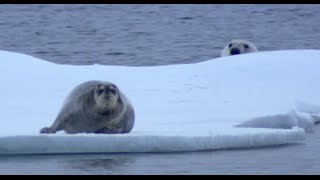 Download NINJA POLAR BEAR Vs SEAL! Video