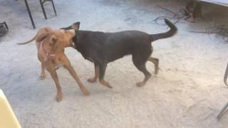 Download Beauceron contre Rhodesian Ridgeback Video