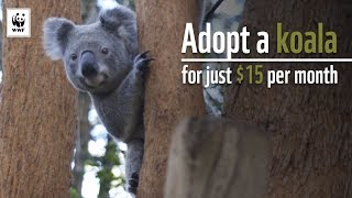 Download Adopt a Koala Today – Help WWF Protect Koalas in Crisis Video