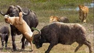 Download The Lion Realize That Two Buffalos Are very strong - lion fail hunting Video