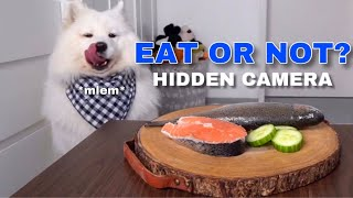 Download SPY CAM: Will My Dog Steal Food? I Furbo Dog Camera Video