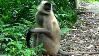 Download Langur Monkey Leader Battle Video