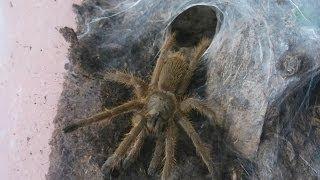 Download Very aggressive ″crazy″ fast Huahini birdeater tarantula (Chilobrachys huahini) [Inferion7] Video