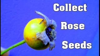 Download How to Collect & save Rose Seeds - October 2016 Video