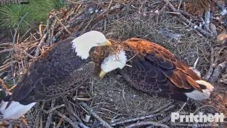 Download SW FL Eagles - It's eaglet time!! Welcome E9 - 12-31-16 Video