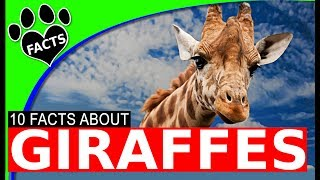 Download Animals Kids Love: Top 10 Giraffe Facts for Kids World's Tallest Animal - Animal Facts Video