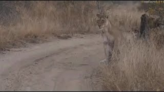 Download Safari Live : Nkuhuma Lioness scared by a mouse ( Funny ) Aug 04, 2017 Video
