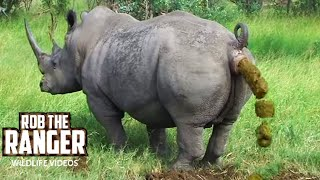Download White Rhino Marking His Territory Video