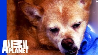 Download Dog Down! Dr. Jeff and Team Act Fast to Save a Senior Dog Video