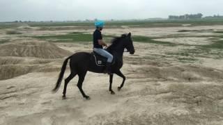 Download marwari mare Black beauty rider Gurpreet somal Video