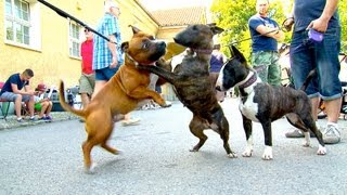 Download Staffordshire Bullterrier GBF Clubschau 2013 (Part 1 Males) Video