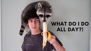 Download A Day in the Life of a Pet Raccoon Video